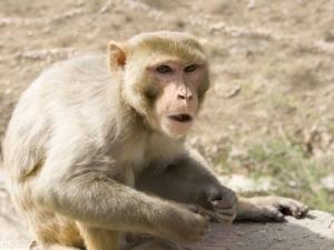 gros singe formation prof de Yoga en Inde