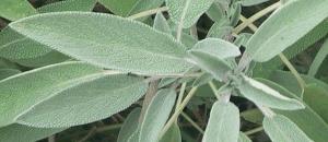 feuilles-sauge-tisane-regles