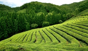 coree-plantation-the-boseong
