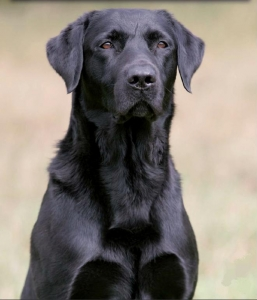 Voici à quoi ressemblait le chien indien dont je vous parle