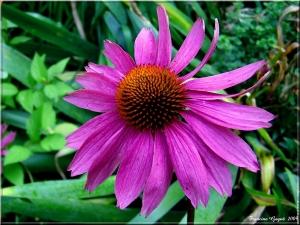 echinacee-fleurs