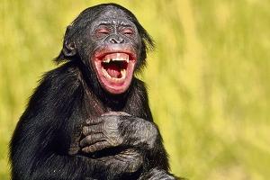 bonobo-rire
