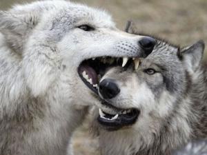 histoire-loups-bouddhisme
