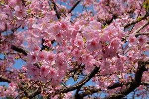 hanami sakura japon